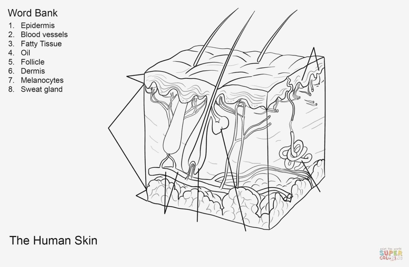Anatomy Coloring Pages Fresh Skin Anatomy Coloring Pages