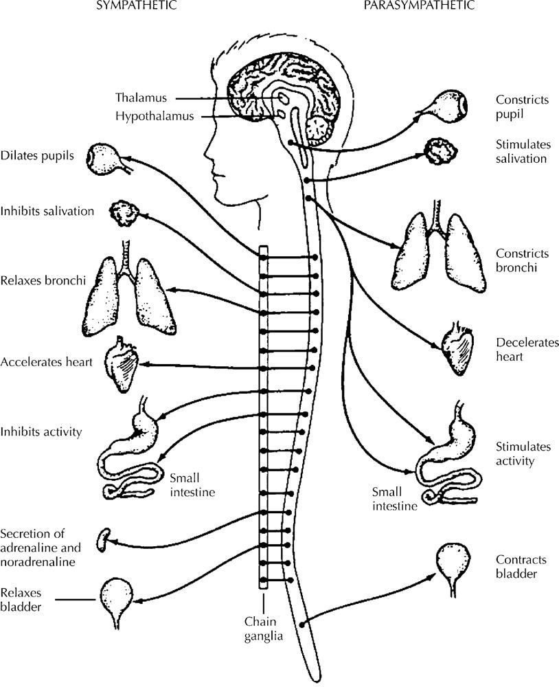 Nervous system coloring page