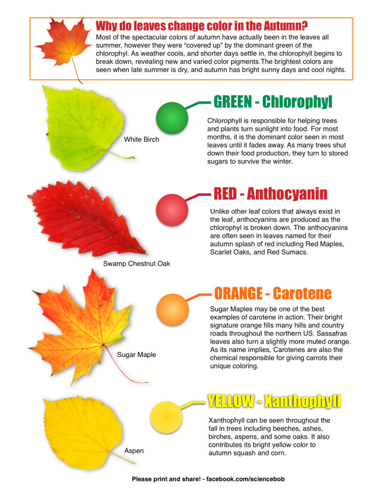 Why Do Leaves Change Color In The Fall ScienceBob